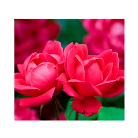 2-Pack Bareroot Double Knock Out Rose Bush