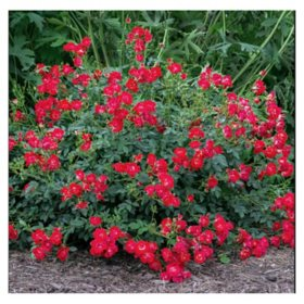 2-Pack Bareroot Red Drift Rose Bush