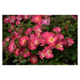 2-Pack Bareroot Pink Drift Rose Bush