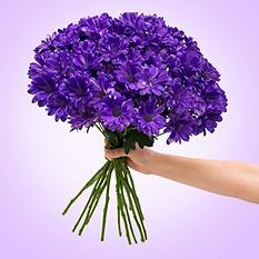 Poms - Tinted Purple - 60 Stems