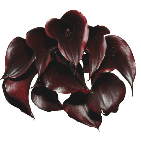 Mini Calla Lilly - Deep Purple (60 Stems)