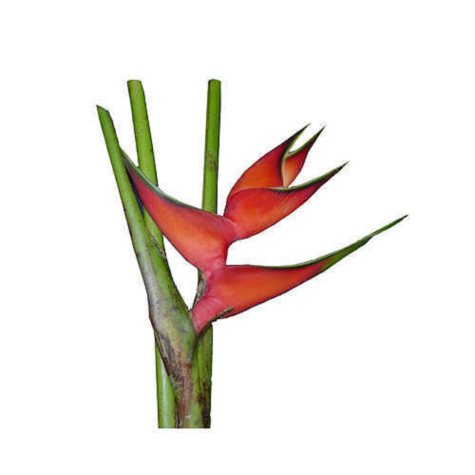 Heliconia Huimilis Lobster Claw - 15 Stems