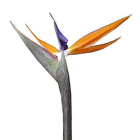 Bird of Paradise Premium (Choose 50 or 60 stems)