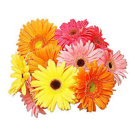 Gerbera Daisies, Assorted Colors (70 Stems)