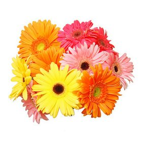 Gerbera Daisies, Assorted Colors (70 Stems)