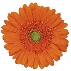 Gerbera Daisies - Orange - 100 Stems