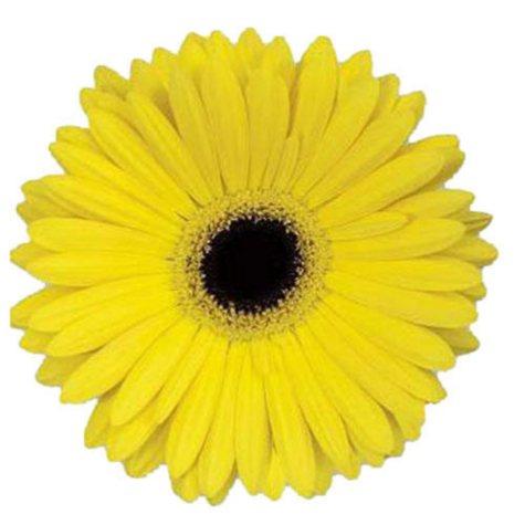 Gerbera Daisies - Yellow - 100 Stems