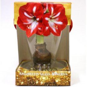 Amaryllis with Vase