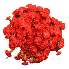 Mini Carnations, Red (100 stems)
