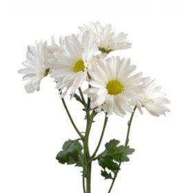 Poms, White Daisy (50 stems)