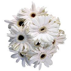 Gerbera Daisies, White (50 stems)