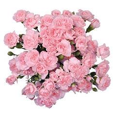 Mini Carnations, Pink (100 stems)