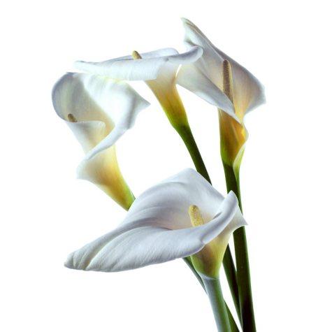 Large Calla Lily - White - 25 Stems