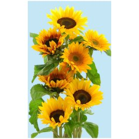 Sunflowers, Assorted Brown or Green Centers (40 stems)