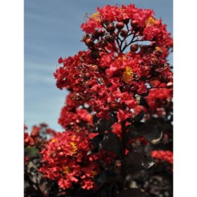 Crimson Red Black Diamond Crape Myrtle