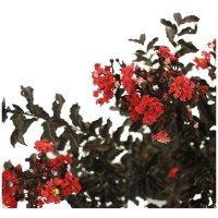 Red Hot Black Diamond Crape Myrtle