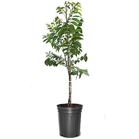 Pawnee Pecan Tree, #5 Pot