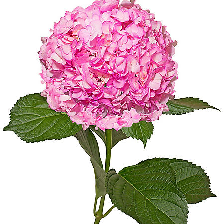 Painted Hydrangeas, Hot Pink (14 stems)