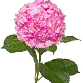 Painted Hydrangeas, Hot Pink (14 stems)