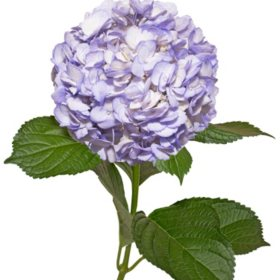 Painted Hydrangeas, Lavender (14 stems)