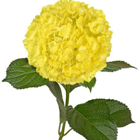 Painted Hydrangeas, Neon Yellow (Choose 14 or 26 stems