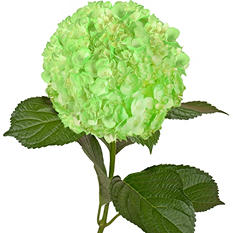 Painted Hydrangeas, Neon Green (Choose 14 or 26 stems)