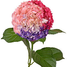 Painted Tritone Hydrangeas, Purple, Hot Pink, Pink (Choose 14 or 26 stems)