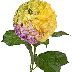 Painted Tritone Hydrangeas, Green, Yellow, Lavender (Choose 14 or 26 stems)