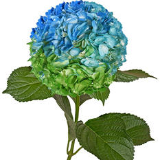 Painted Tritone Hydrangeas, Blue, Turquoise, Green (Choose 14 or 26 stems)