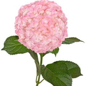 Painted Hydrangeas, Metallic Pink (Choose 14 or 26 stems)