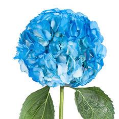 Painted Hydrangeas, Blue (14 stems)