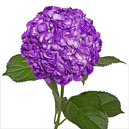 Painted Hydrangeas, Purple (14 stems)