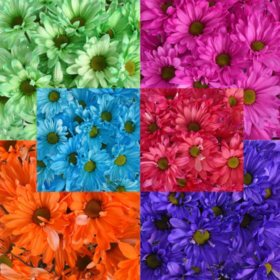 Crazy Daisies, Assorted (84 stems)