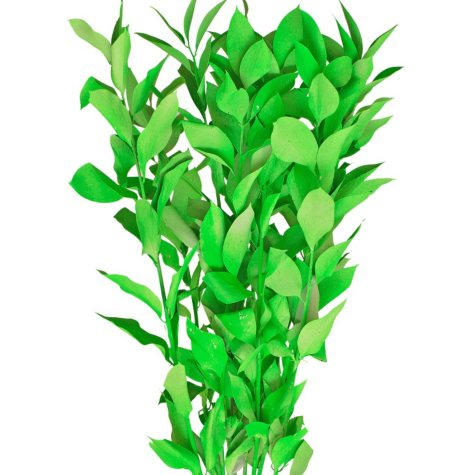 Painted Ruscus, Neon Green (Choose 60 or 120 stems)