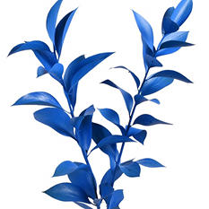 Painted Ruscus, Blue (60 stems)