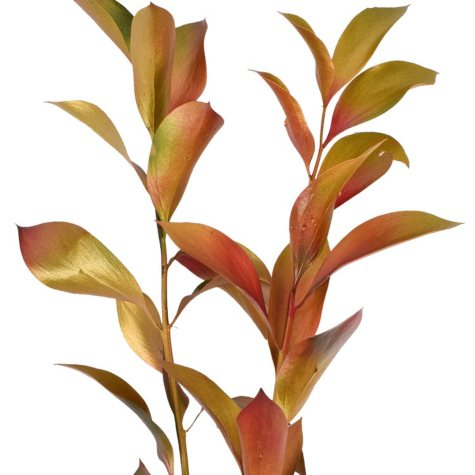 Painted Chameleon Ruscus, Gold, Red, Green (Choose 60 or 120 stems)