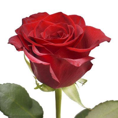 Roses Sam S Club