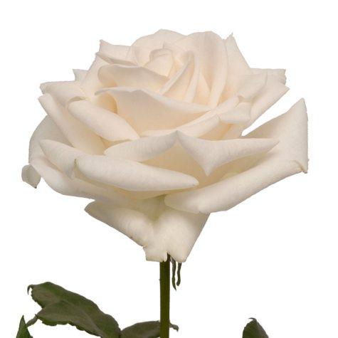 Roses - Vendela Roses (100 stems)