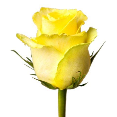 Roses, Tara (100 stems)