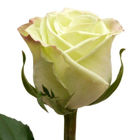 Roses, Green Tea (100 stems)