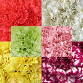 Carnations, Grower's Choice (200 stems)