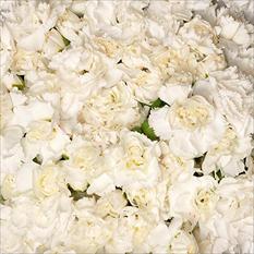 Mini Carnations - White (200 stems)