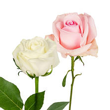 Roses, Light Pink and White (125 stems)