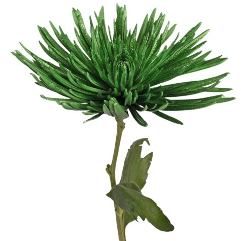 Painted Anastasia Spider, Metallic Green with Glitter (Choose 50 or 100 stems)