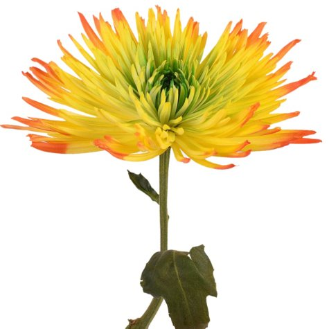Painted Tritone Anastasia Spider, Green, Yellow, Orange (Choose 50 or 100 stems)