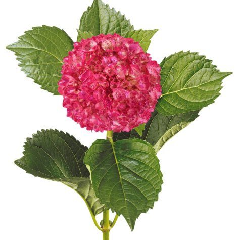 Painted Mini Green Hydrangea, Metallic Hot Pink with Glitter (Choose 20 or 40 Stems)