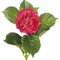 Painted Mini Green Hydrangea, Metallic Hot Pink (Choose 20 or 40 Stems)