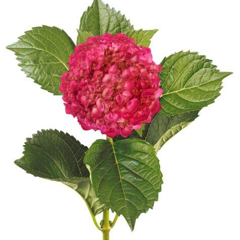 Painted Mini Green Hydrangea, Metallic Hot Pink (Choose 20 or 40 Stems)
