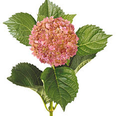 Painted Mini Green Hydrangea, Metallic Pink (Choose 20 or 40 Stems)