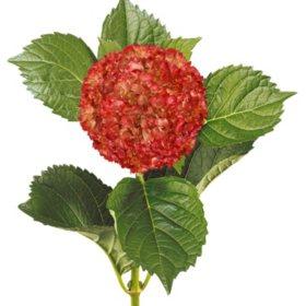 Painted Mini Green Hydrangea, Metallic Red (Choose 20 or 40 Stems)